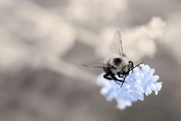 Bee Macro in Infrared
